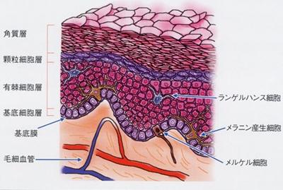 口腔粘膜の模式図